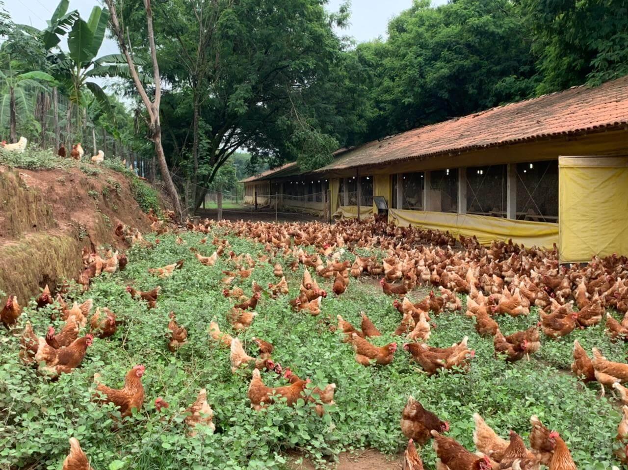 Produção de aves livres de medicamentos é essencial para a saúde